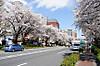 Sakura140405_1