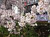 Sakura170406_2