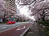 Sakura170408_2