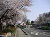 Sakura060329_1