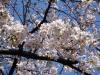 Sakura210324_1