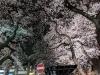 Sakura210325_3